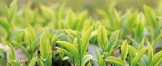 广西西林京桂古道茶业公司怎么样?是国企吗?和广西农垦集团啥关系?